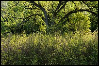 Backlit oak tree in the spring. Berryessa Snow Mountain National Monument, California, USA ( color)