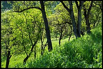 Wildflowers and oak trees in spring. Berryessa Snow Mountain National Monument, California, USA ( color)