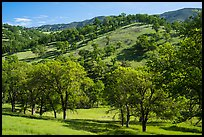 Oak trees and hills in spring. Berryessa Snow Mountain National Monument, California, USA ( color)