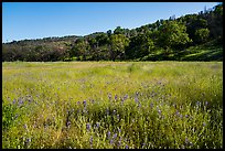 Meadow with wildflowers, Cache Creek Wilderness. Berryessa Snow Mountain National Monument, California, USA ( color)