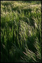 Grasses in spring, Cache Creek Wilderness. Berryessa Snow Mountain National Monument, California, USA ( color)