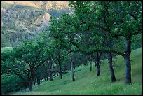Blue Oaks on steep slope, Cache Creek Wilderness. Berryessa Snow Mountain National Monument, California, USA ( color)