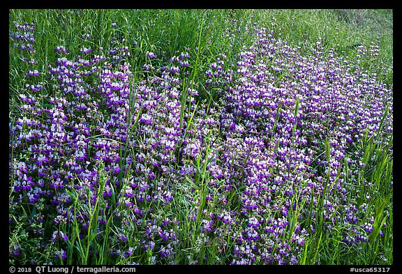 Dense lupine patch, Cache Creek Wilderness. Berryessa Snow Mountain National Monument, California, USA (color)