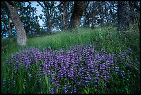 Lupine and oak trees, Cache Creek Wilderness. Berryessa Snow Mountain National Monument, California, USA ( color)