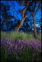 Lupine and oaks at night, Cache Creek Wilderness. Berryessa Snow Mountain National Monument, California, USA ( color)