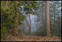 Pine trees and fog. Berryessa Snow Mountain National Monument, California, USA ( color)