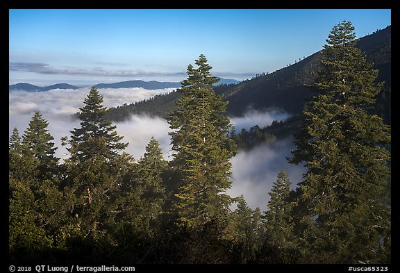 Pine trees above sea of clouds, Snow Mountain. Berryessa Snow Mountain National Monument, California, USA (color)