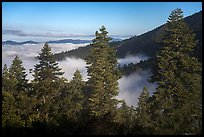 Pine trees above sea of clouds, Snow Mountain. Berryessa Snow Mountain National Monument, California, USA ( color)