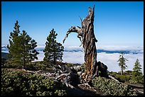 Stump and pine trees above sea of clouds, Snow Mountain. Berryessa Snow Mountain National Monument, California, USA ( color)