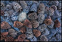 Close-up of pine cones, Snow Mountain Wilderness. Berryessa Snow Mountain National Monument, California, USA ( color)