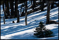 Shadows in snowy forest, Snow Mountain Wilderness. Berryessa Snow Mountain National Monument, California, USA ( color)