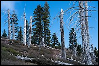Silvery grove of recently fire-killed firs, Snow Mountain Wilderness. Berryessa Snow Mountain National Monument, California, USA ( color)