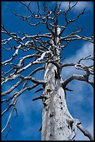 Fir skeleton, Snow Mountain Wilderness. Berryessa Snow Mountain National Monument, California, USA ( color)