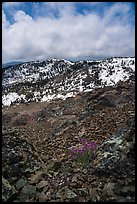 Alpine flowers on Snow Mountain summit. Berryessa Snow Mountain National Monument, California, USA ( color)