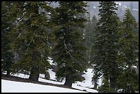 Snow falling in fir forest near Snow Mountain summit. Berryessa Snow Mountain National Monument, California, USA ( color)