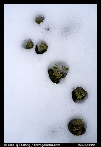 Plants emerging from snow, Snow Mountain Wilderness. Berryessa Snow Mountain National Monument, California, USA (color)