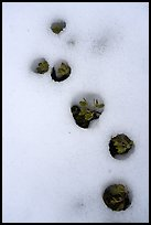 Plants emerging from snow, Snow Mountain Wilderness. Berryessa Snow Mountain National Monument, California, USA ( color)