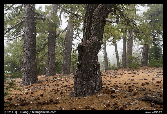 Pine forest in fog with fallen cones, Snow Mountain Wilderness. Berryessa Snow Mountain National Monument, California, USA (color)