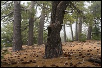 Pine forest in fog with fallen cones, Snow Mountain Wilderness. Berryessa Snow Mountain National Monument, California, USA ( color)