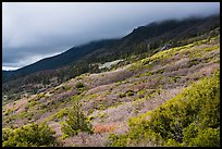 Manzanita hedges with low clouds enveloping summits, Snow Mountain. Berryessa Snow Mountain National Monument, California, USA ( color)