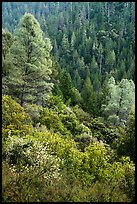 Lush mixed forest in valley near Bear Creek. Berryessa Snow Mountain National Monument, California, USA ( color)