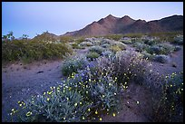 Spring wildflowers and mountains at dusk. Mojave Trails National Monument, California, USA ( color)