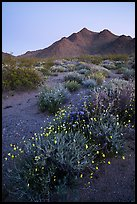 Annual desert wildflowers at dusk. Mojave Trails National Monument, California, USA ( color)