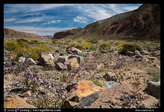 Desert wildflowers on Afton Canyon floor. Mojave Trails National Monument, California, USA (color)