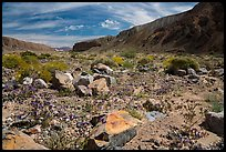 Desert wildflowers on Afton Canyon floor. Mojave Trails National Monument, California, USA ( color)