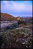 Wildflowers at dawn with distant snowy San Giorgono Mountain. Sand to Snow National Monument, California, USA ( color)
