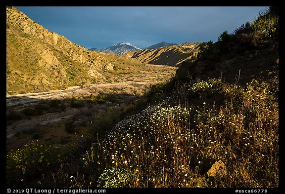 Wildflowers and San Giorgono Mountains, Mission Creek Preserve. Sand to Snow National Monument, California, USA (color)