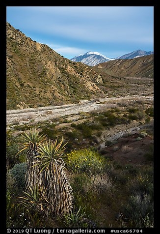 Yucca, wildflowers and San Giorgono Mountain, Mission Creek Preserve. Sand to Snow National Monument, California, USA (color)