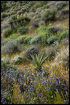 Yucca and wildflowers in bloom, Mission Creek. Sand to Snow National Monument, California, USA ( color)