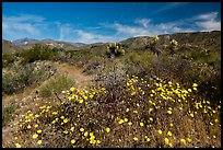Wildflowers and yuccas on desert floor. Sand to Snow National Monument, California, USA ( color)