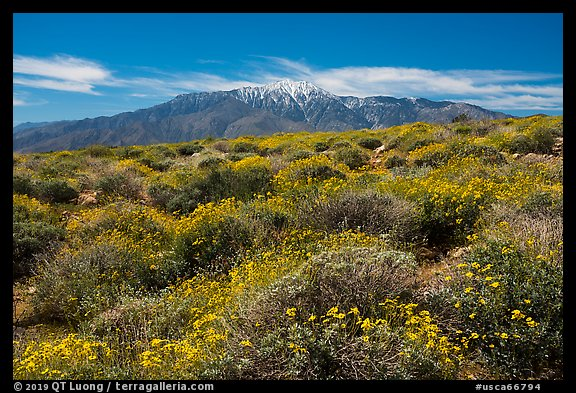 Brittlebush in bloom and San Jacinto Mountains. Sand to Snow National Monument, California, USA (color)