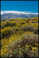 Brittlebush in bloom and San Jacinto Peak. Sand to Snow National Monument, California, USA ( color)