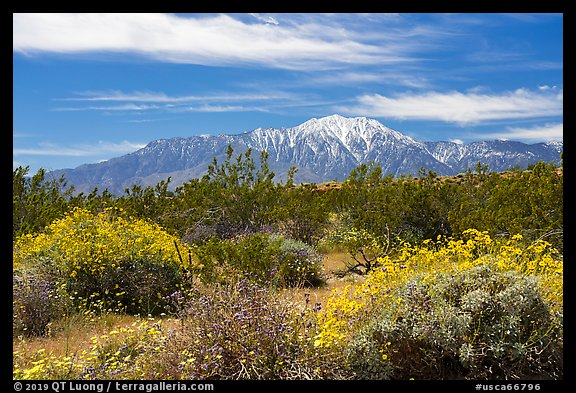 Blooming Brittlebush and snowy San Jacinto Peak. Sand to Snow National Monument, California, USA (color)