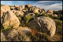 Wildflowers, yucca and boulders, Flat Top Butte. Sand to Snow National Monument, California, USA ( color)