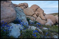 Wildflowers and boulders. Sand to Snow National Monument, California, USA ( color)