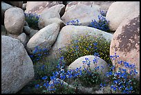 Wildflowers growing between boulders. Sand to Snow National Monument, California, USA ( color)