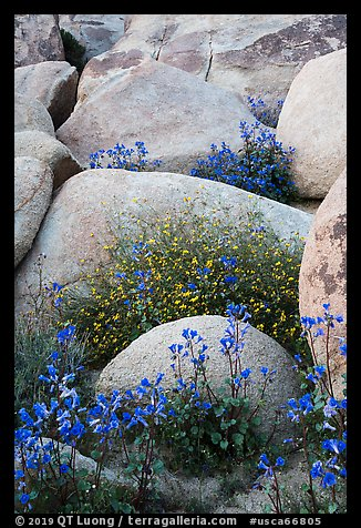 Wildflowers growing among boulders. Sand to Snow National Monument, California, USA (color)