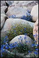 Wildflowers growing among boulders. Sand to Snow National Monument, California, USA ( color)
