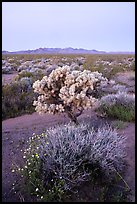 Wildflowers, Cholla cactus, Piute Mountains at dawn. Mojave Trails National Monument, California, USA ( color)