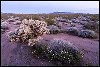 Wildflowers and Cholla cactus in Ward Valley at dawn. Mojave Trails National Monument, California, USA ( color)