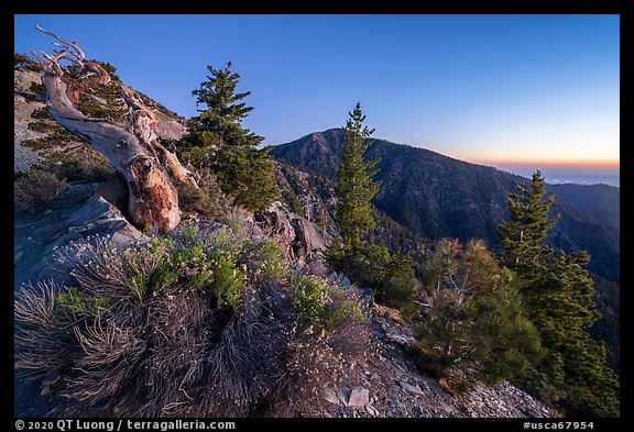 Wildflowers and trees on Devils Backbone ridge at dawn. San Gabriel Mountains National Monument, California, USA (color)