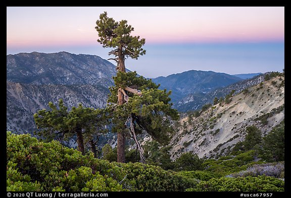 Shrubs and pine tree from Devils Backbone at dawn. San Gabriel Mountains National Monument, California, USA (color)