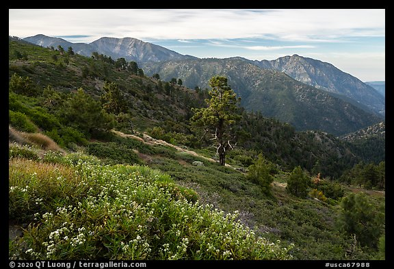 Wildflowers, Mt Baldy, and Iron Mountain. San Gabriel Mountains National Monument, California, USA (color)