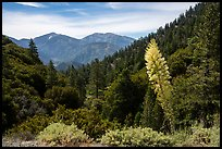 Agave in bloom, Pine Mountain, and Mount San Antonio. San Gabriel Mountains National Monument, California, USA ( color)