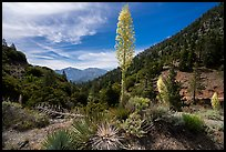 Agaves in bloom, Pine Mountain, and Mount San Antonio from Vincent Gap. San Gabriel Mountains National Monument, California, USA ( color)