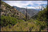 Chaparal with wildflowers and burned trees. San Gabriel Mountains National Monument, California, USA ( color)